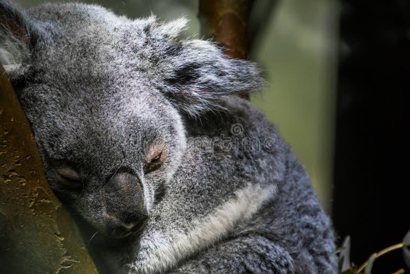 Ours de koala du Queensland dormant dans un arbre, portrait de plan rapproché d'un koala, espèce marsupiale vulnérable d'Australi images libres de droits