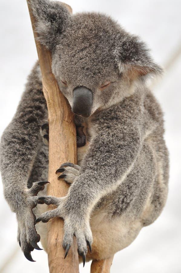 Ours de koala rêvant doux. images stock