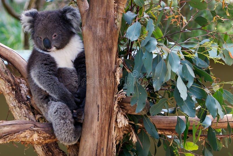 Ours de koala somnolent dans l'arbre photos stock