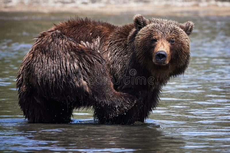 Ours de natation du Kamtchatka dans la faune images libres de droits