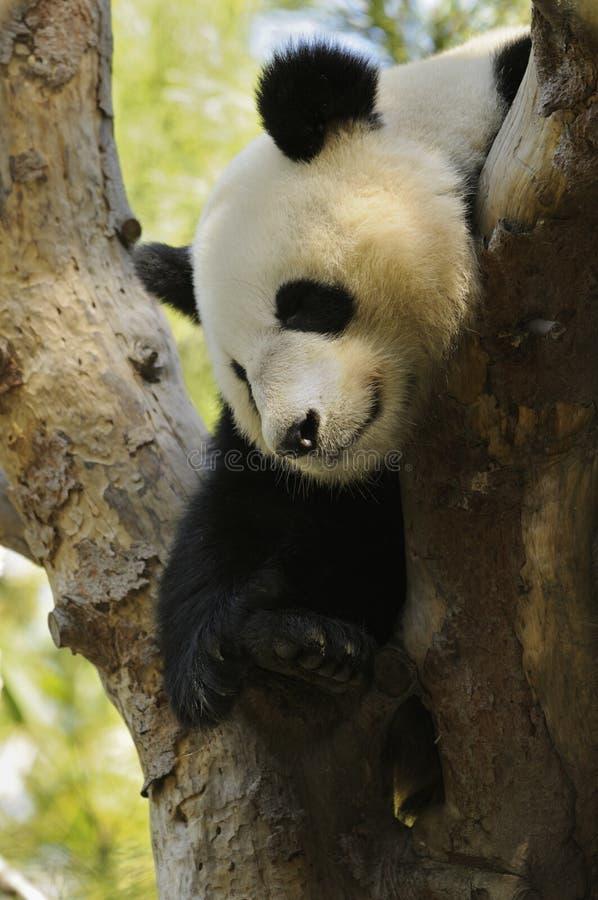 Ours de panda photo stock
