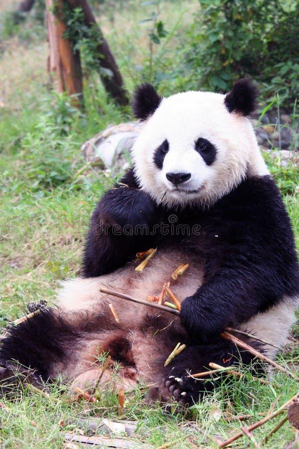 Ours de panda photos libres de droits