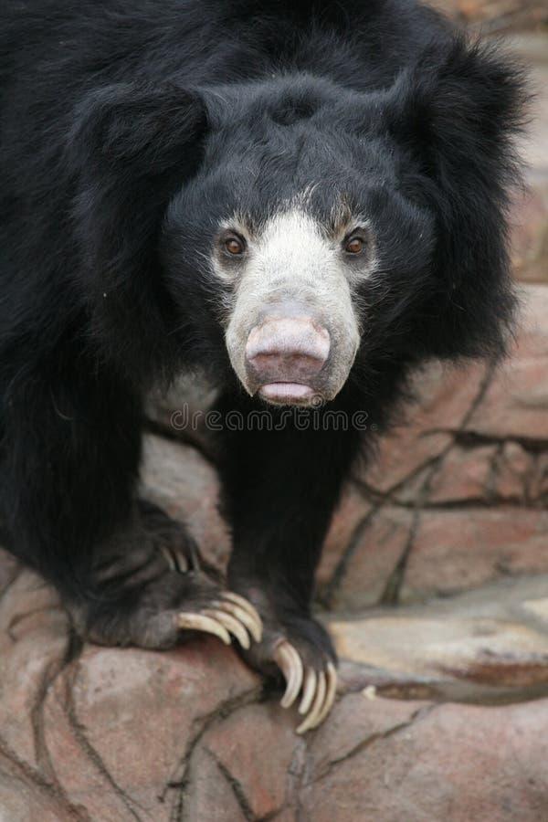 Ours de paresse photographie stock
