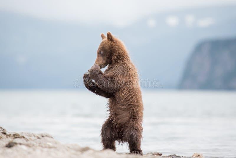 Ours de petit animal de boxe photos libres de droits