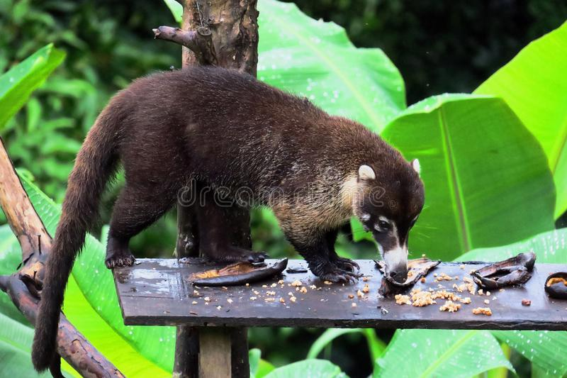 Ours de Snookum Faune de jungles de Costa Rica photos stock