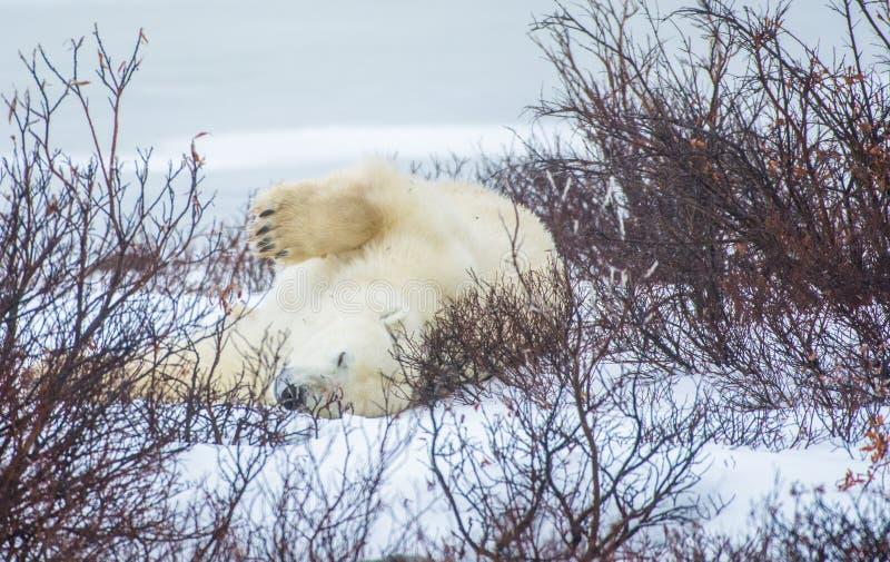 Ours de sommeil photo libre de droits