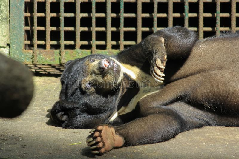 Ours de Sun dormant paresseux photo stock