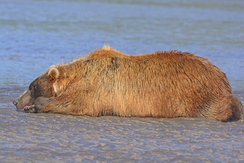 Ours dormant sur une barre de sable après un bon repas photographie stock libre de droits