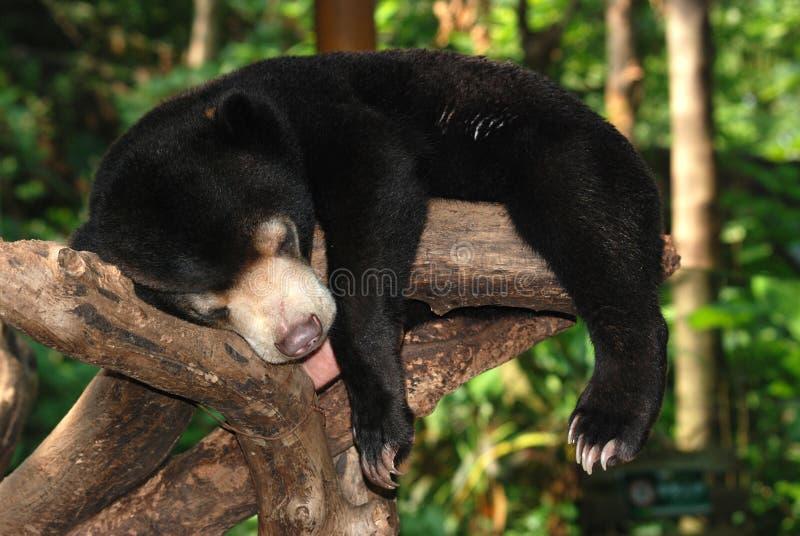 Ours du soleil de sommeil images libres de droits