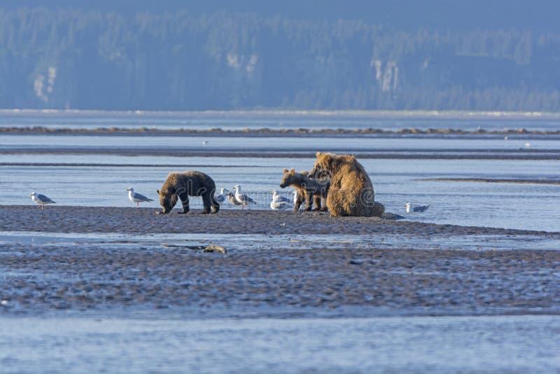 Ours et CUB de mère sur un Mudflat photos libres de droits