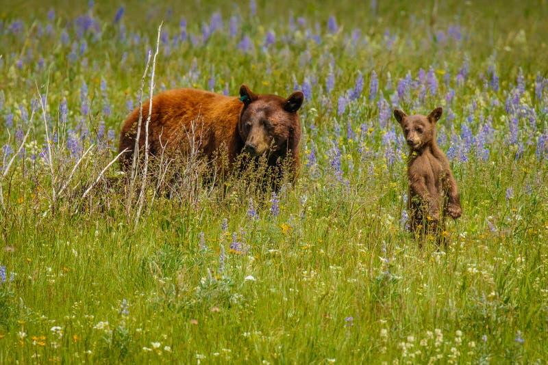 Ours femelle avec son petit animal découvrant le monde ensemble images libres de droits
