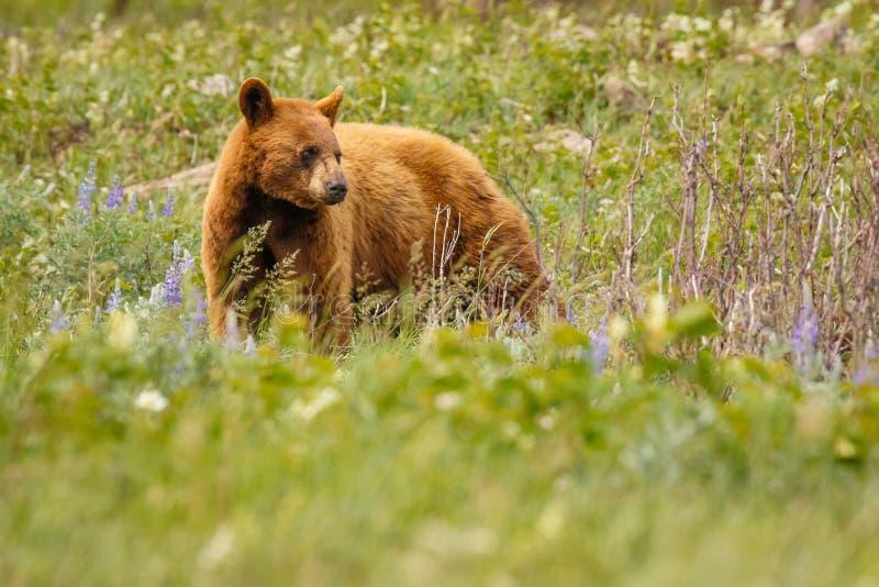 Ours femelle de couleur de cannelle en parc national de lacs Waterton, Canada images stock