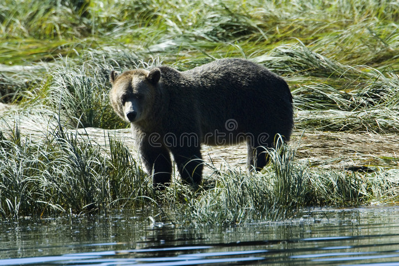 Ours gris au rivage images stock