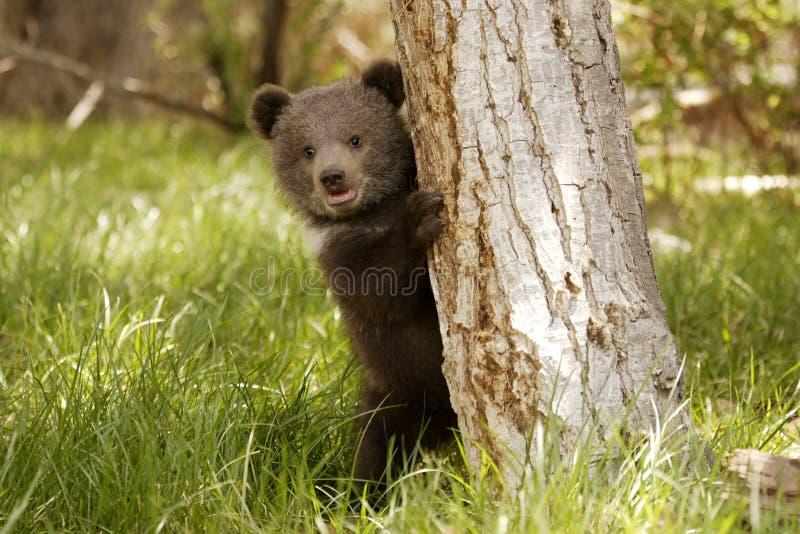Ours gris Cub photos stock