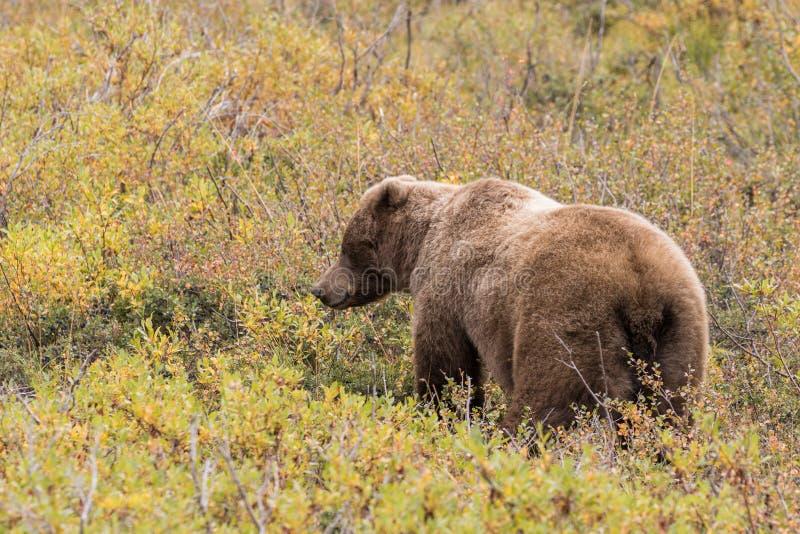Ours gris en parc national de Denali dans l'automne images stock