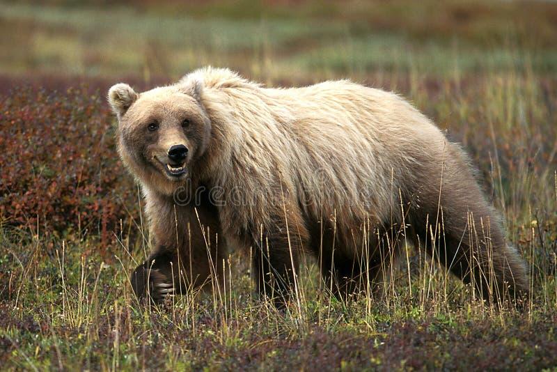 Ours gris marchant dans l'herbe et la toundra (arctos d'Ursus), Alaska, photo libre de droits