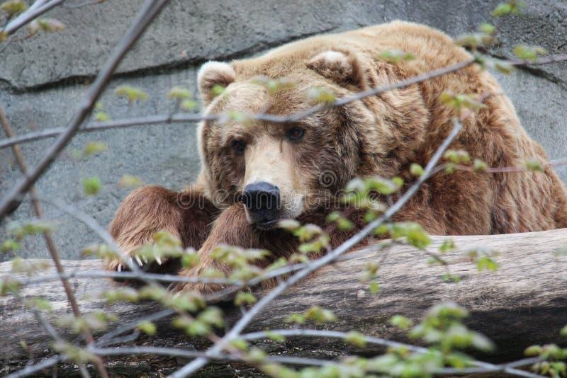 Ours gris se reposant sur un rondin photographie stock libre de droits
