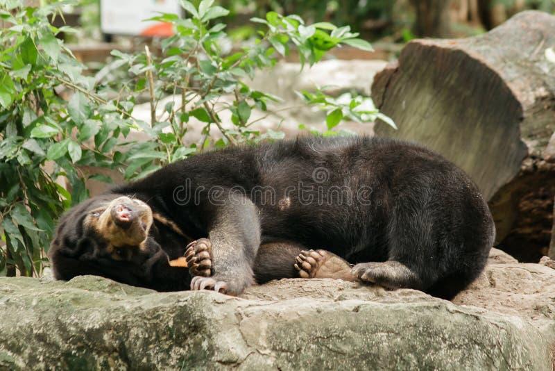 Ours malais du soleil dormant sur une roche photo libre de droits