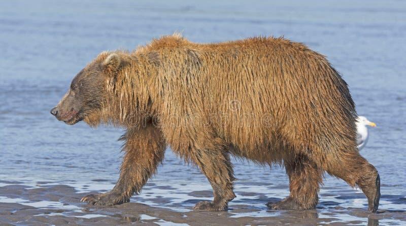 Ours marchant à travers un appartement de boue de marée photo stock
