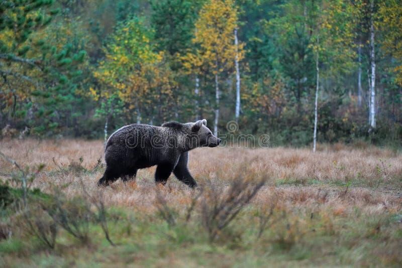 Ours marchant dans le marais photographie stock