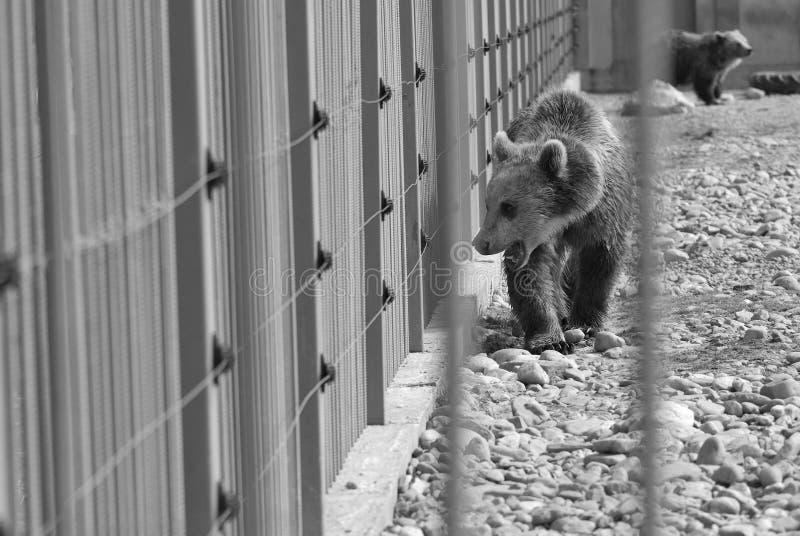 Ours mis en cage en noir et blanc image stock
