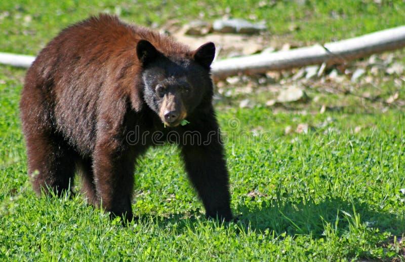 Ours noir. photo libre de droits