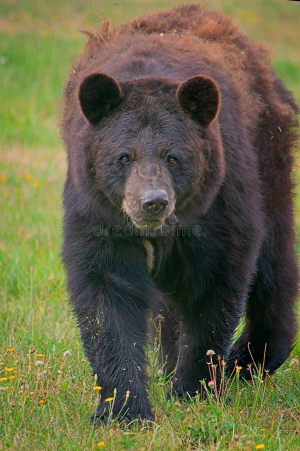 Ours noir américain photographie stock libre de droits