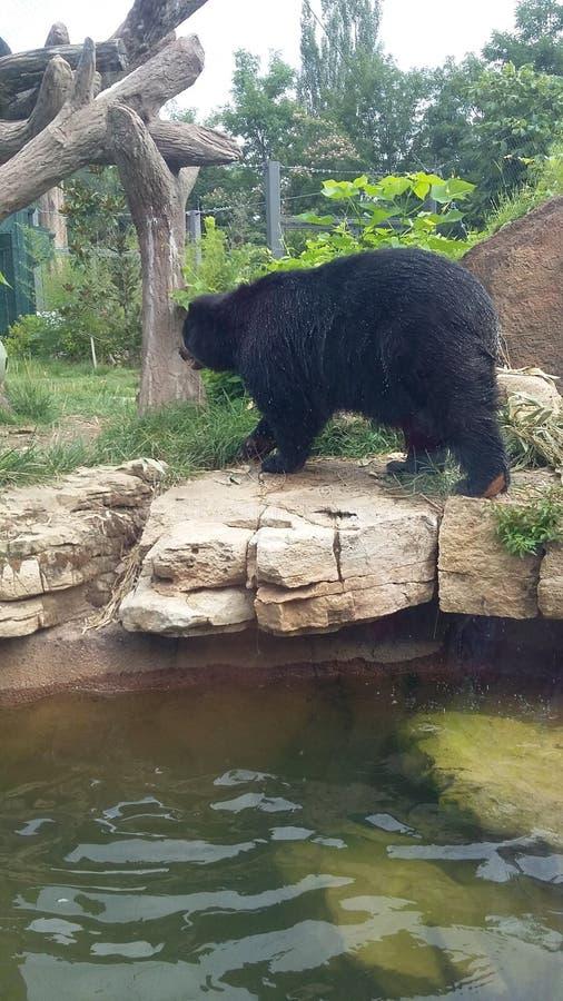 Ours noir au zoo de St Louis images libres de droits