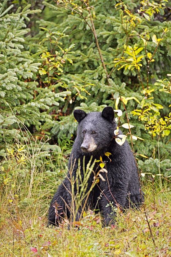 Ours noir curieux photographie stock libre de droits