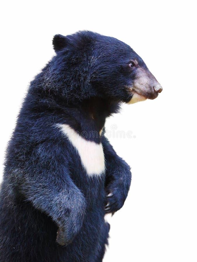 Ours noir d'isolement de chéri image stock