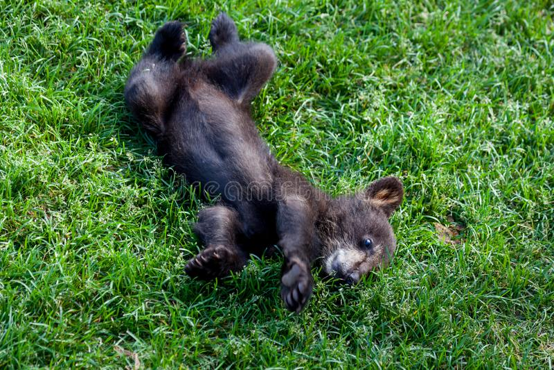 Ours noir de chéri image stock