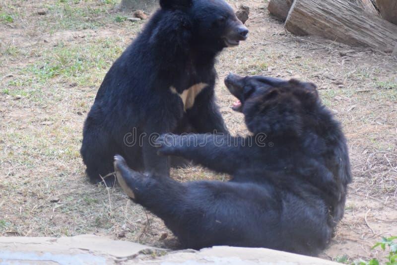 Ours noir de l'Himalaya image libre de droits
