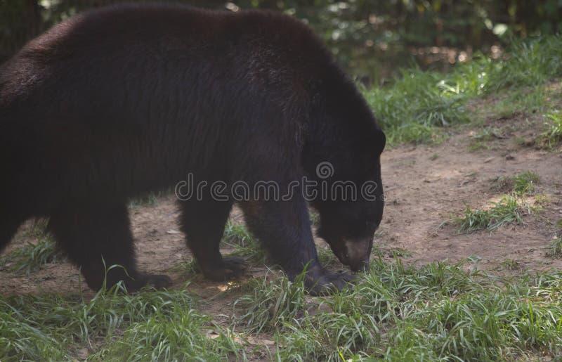 Ours noir de la Louisiane image libre de droits
