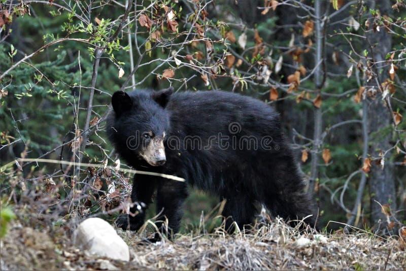 Ours noir de petit animal de bébé dans les arbres image stock