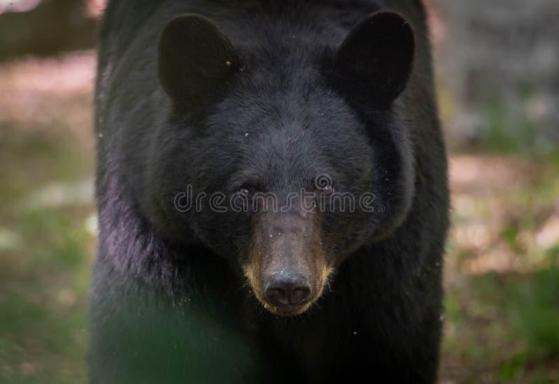 Ours noir en Pennsylvanie image stock