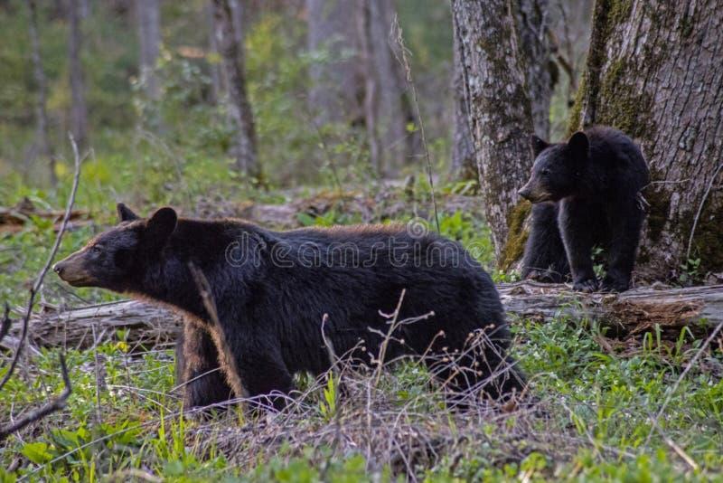 Ours noir et bébé de maman dans la crique de Cades, une partie du Smokies images stock