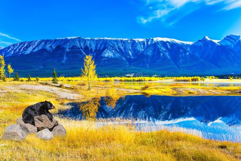 Ours noir magnifique se reposant par le lac photographie stock