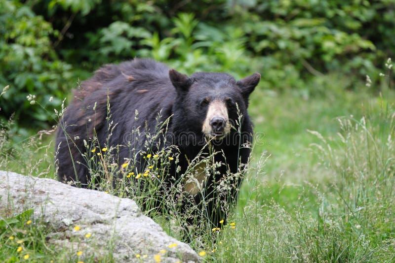 Ours noir nord-américain - la Caroline du Nord image libre de droits