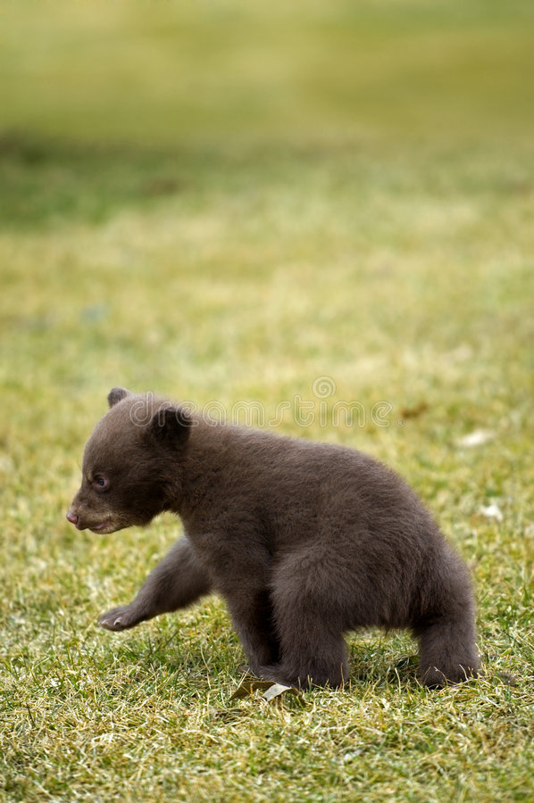 Ours noir (Ursus américanus) Cub Outta ici images stock