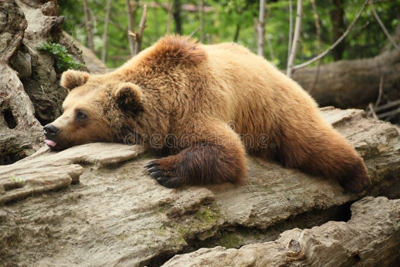 Ours paresseux photographie stock libre de droits