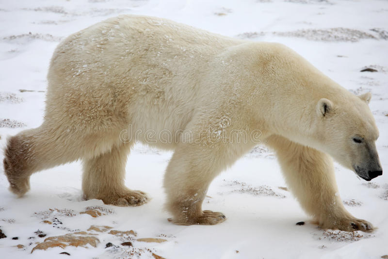 Ours Polaire - Polar bear royalty free stock image