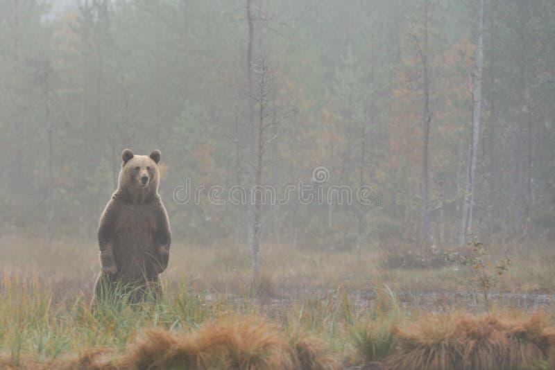 Ours restant dans le brouillard image stock
