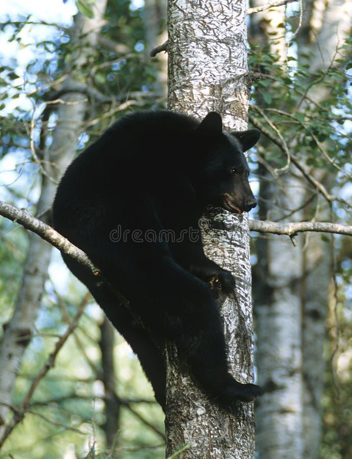 Ours se reposant photographie stock libre de droits