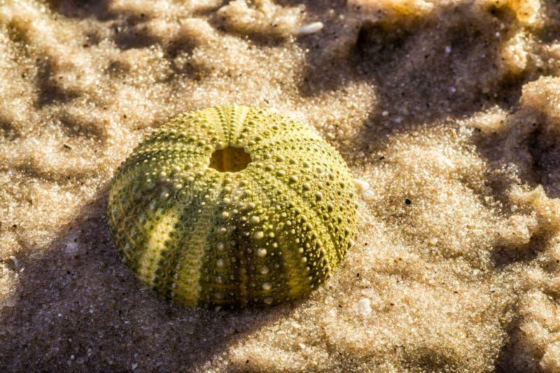 Oursin dans le sable de mer photo libre de droits