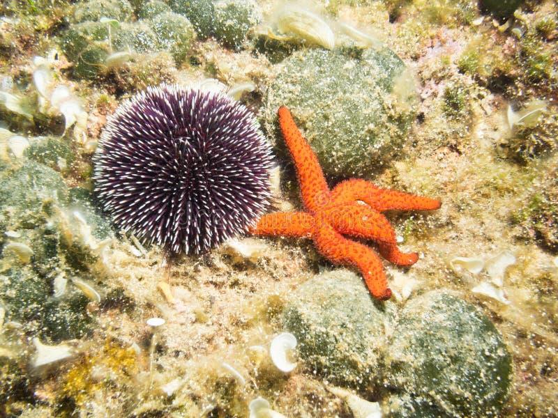 Oursin et étoiles de mer image libre de droits