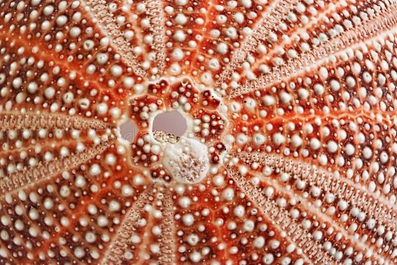 Oursin Shell - modèles en nature images stock