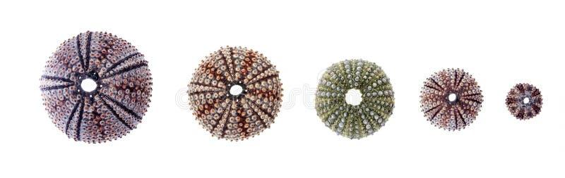 Oursins de diverses tailles photos stock