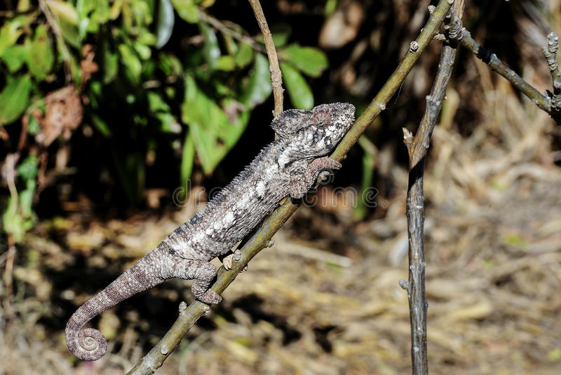 Download Oustalet's Chameleon, Anja Royalty Free Stock Image - Image: 26744706