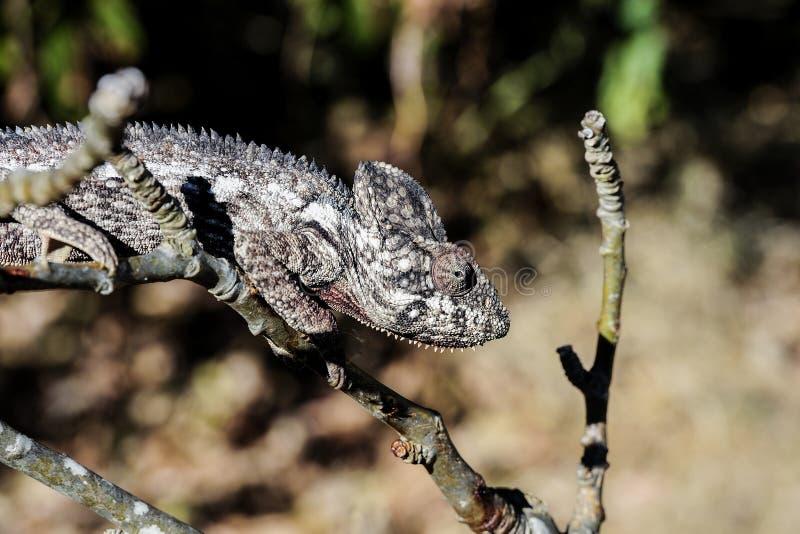 Oustalet s chameleon, anja
