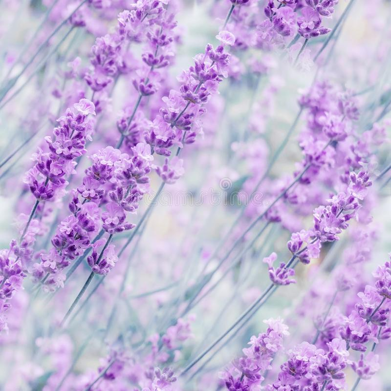 Out-of-focus blur summer blooming lavender background, toned, light and heart bokeh, pastel and soft card. Seamless texture royalty free stock photography